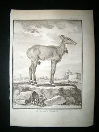Buffon: C1770 Nilgaut, Antique Print